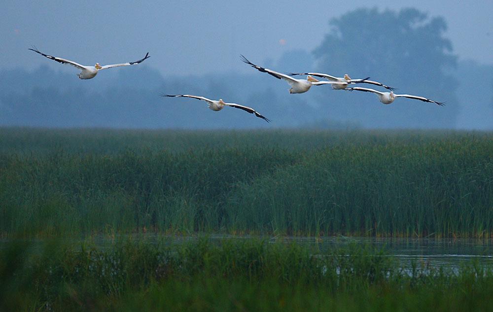 Sponsor a wetland bird species and support the Wisconsin Breeding Bird Atlas II