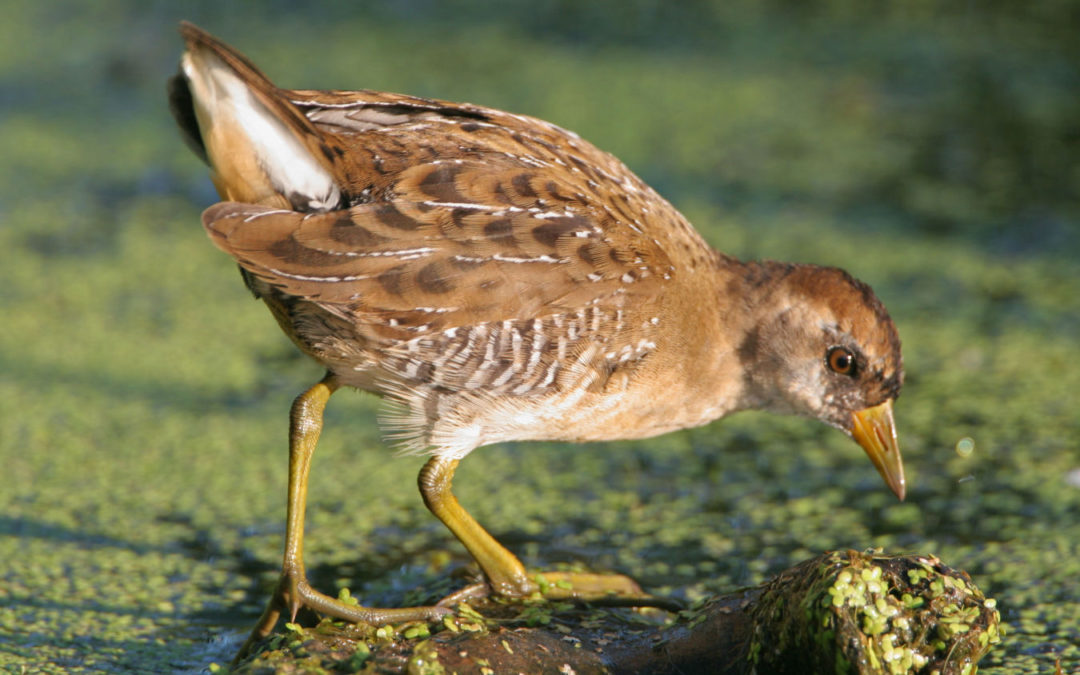 Wild rice: food for migrating waterfowl