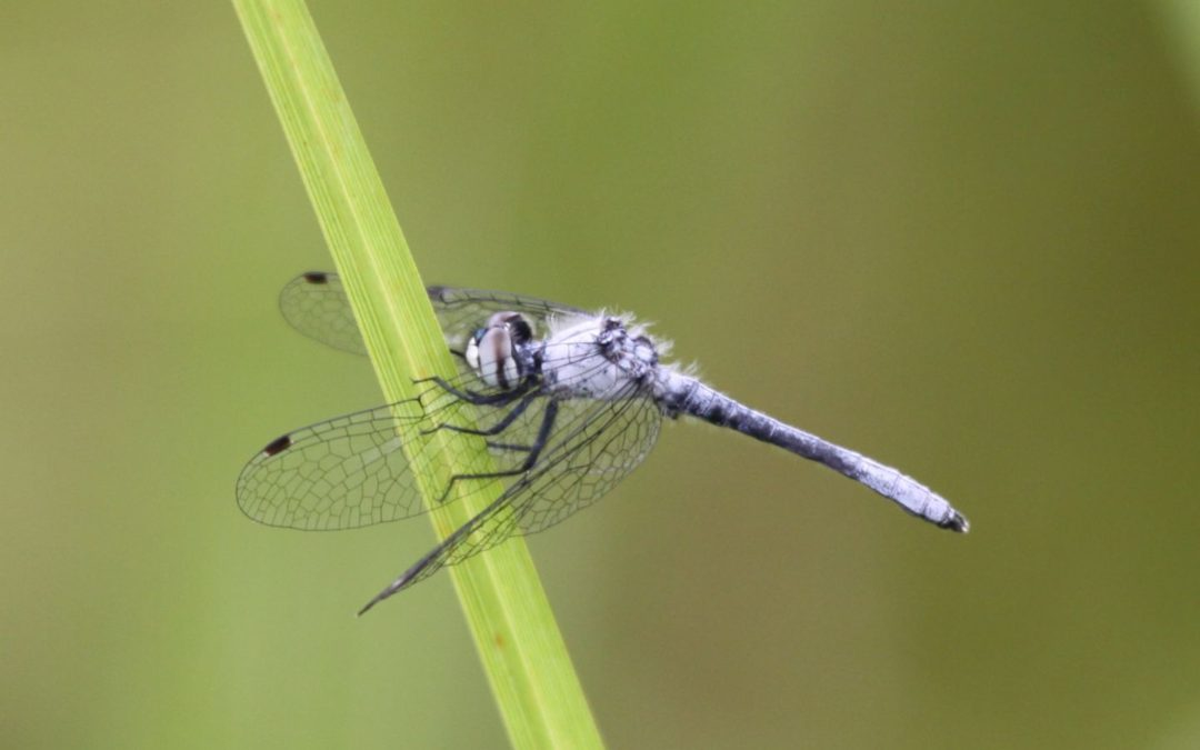 6 dragonflies and damselflies to know