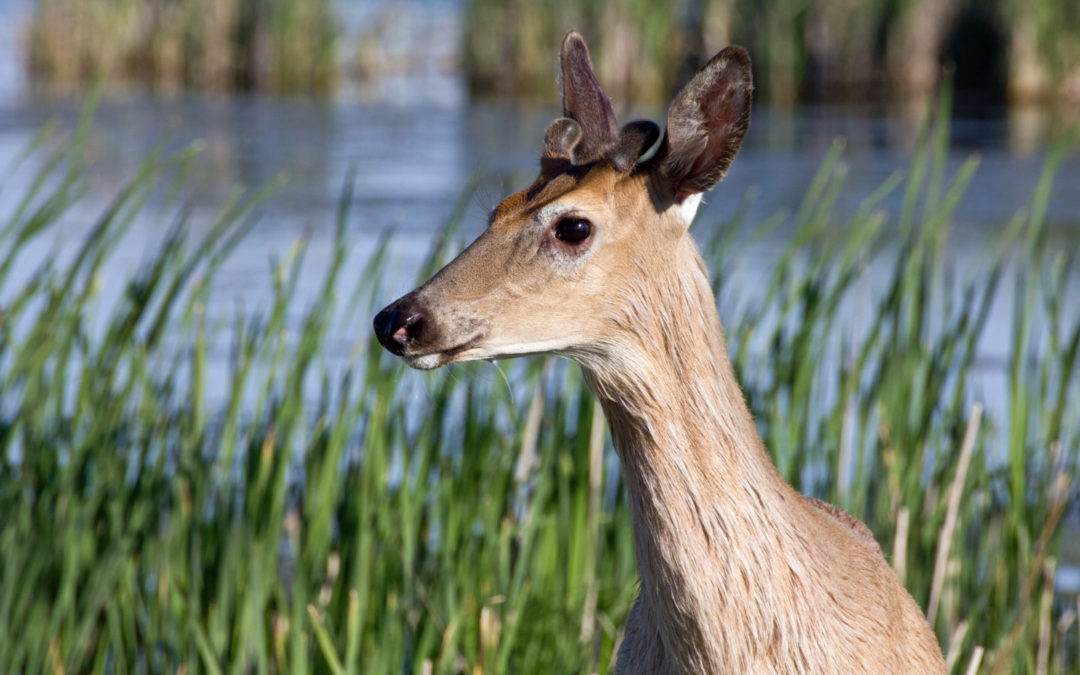 Why healthy wetlands are good news for deer hunters