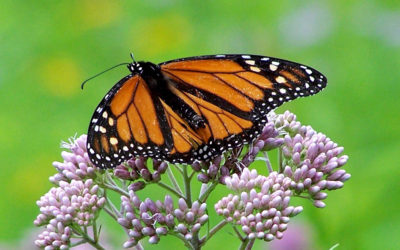 How caring for your wetlands helps monarch butterflies
