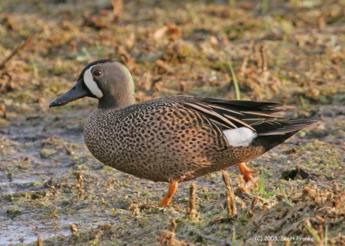 Why migrating birds need wetlands