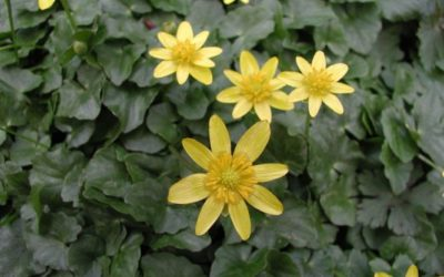 Lesser celandine: A wetland invasive to look for in spring