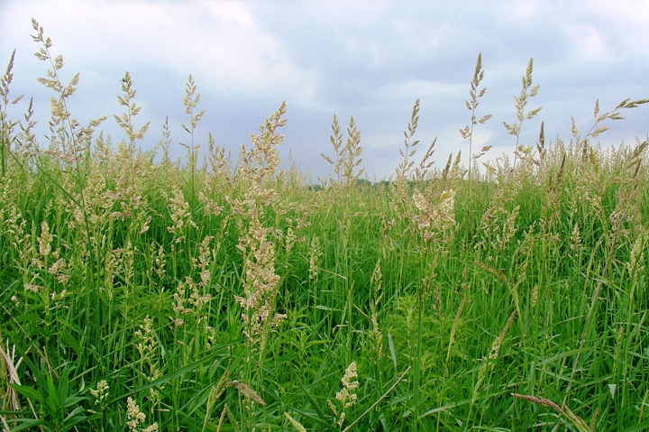 Invasive plant profile: Reed canary grass