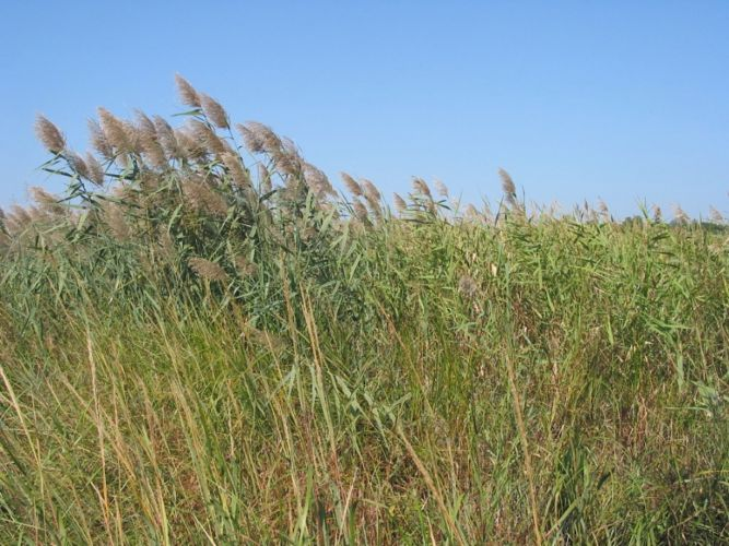 Invasive plant profile: Phragmites