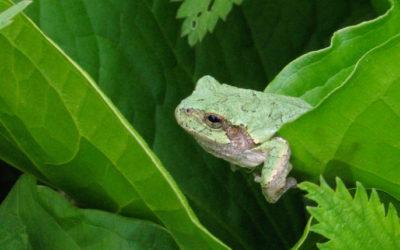 The frog chorus in Wisconsin's wetlands