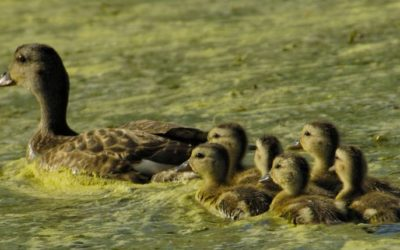 Isolated wetlands: A home for waterfowl