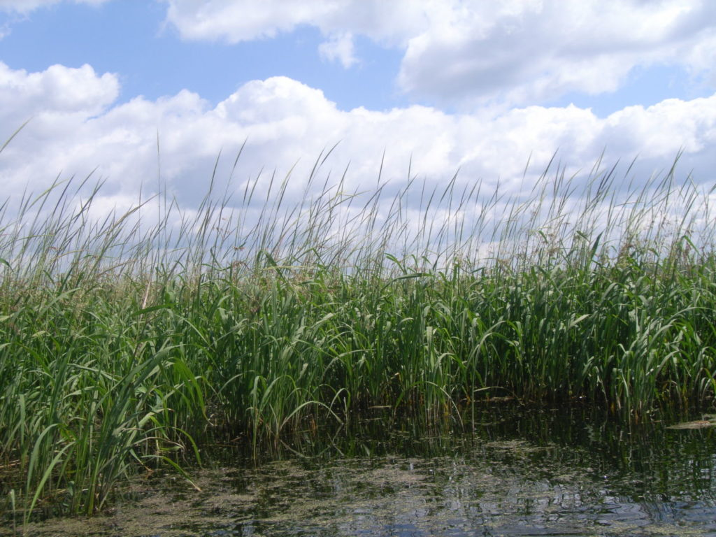 A stand of wild rice.