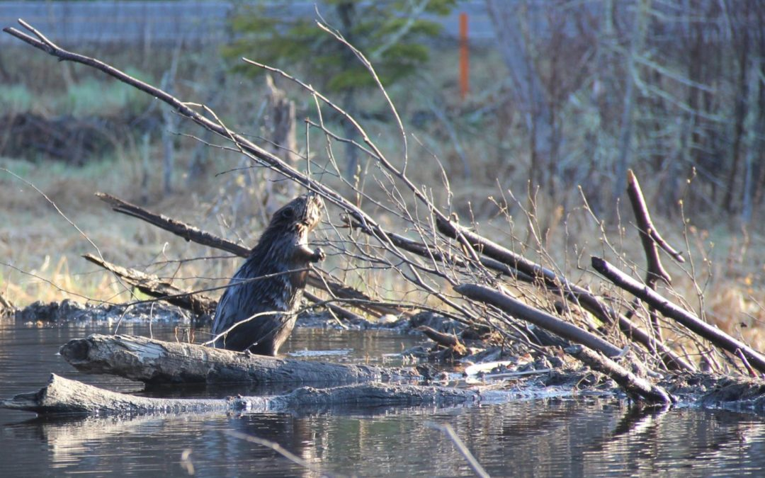 A beaver stands on their beaver dam in the wilderness.